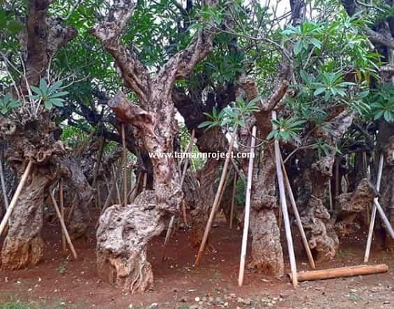 Jual Kamboja Fosil | Kamboja Purba Besar Terlengkap - Tamanproject.com